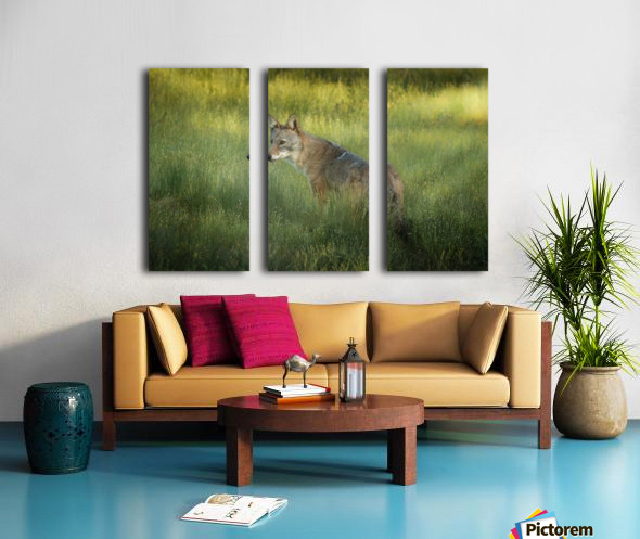 Evening Coyote Split Canvas print