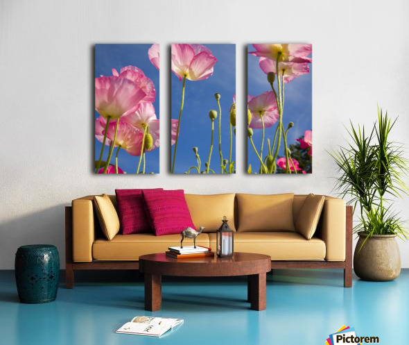 Shirley Poppies (Papaver Rhoeas), Oregon, Usa Split Canvas print