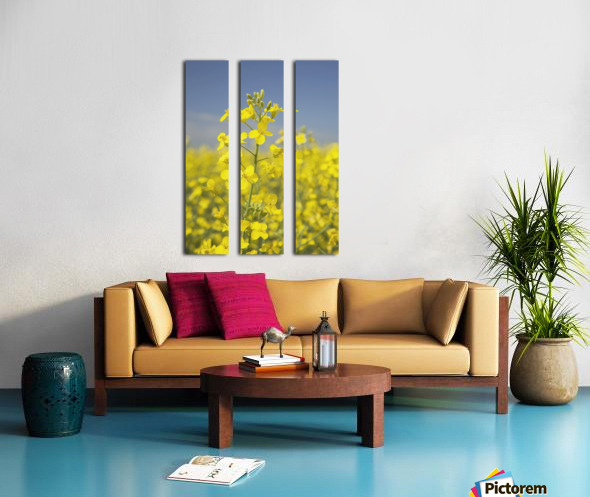 Flowering Canola, Alberta, Canada Split Canvas print