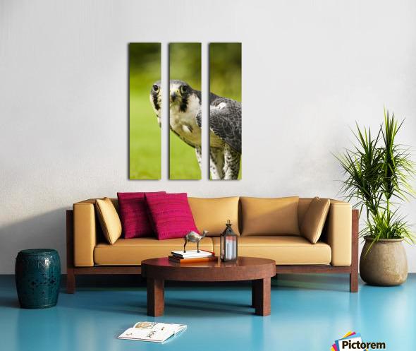 Peregrine Falcon (Falco Peregrinus); Windermere, Cumbria, England Split Canvas print