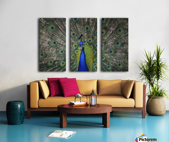 Peacock In Open Feathers, Victoria, Bc Canada Split Canvas print