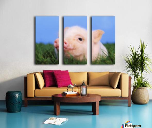 Baby pig lying on grass;British columbia canada Split Canvas print