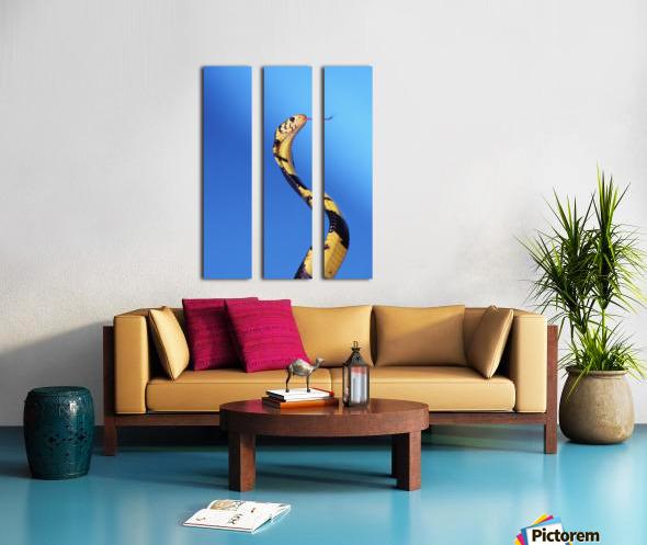 Forest cobra (naja melanoleuca) against a blue background;British columbia canada Split Canvas print