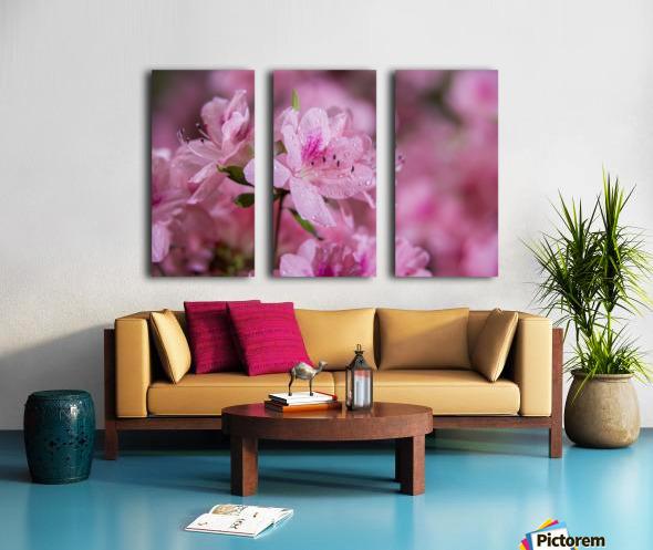 Pericat hybrid azaleas (Mrs. Fisher), Rhododendron (Ericaceae), New York Botanical Garden; New York City, New York, United States of America Split Canvas print