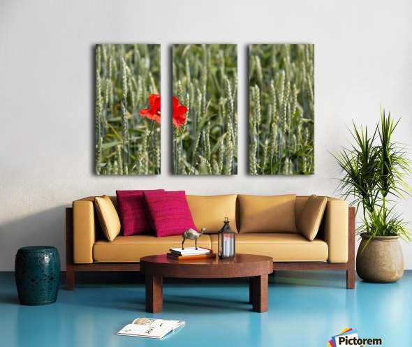 Close up of red poppy in a green wheat field; Brehec, Brittany, France Split Canvas print