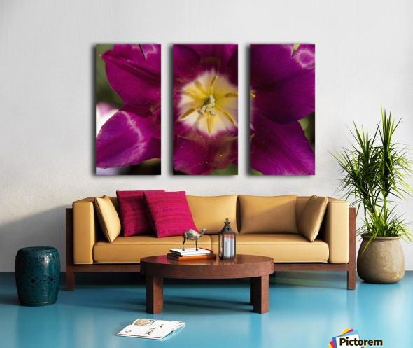 Red tulip, Andre Rieu (tulipa), New York Botanical Garden; New York City, New York, United States of America Split Canvas print