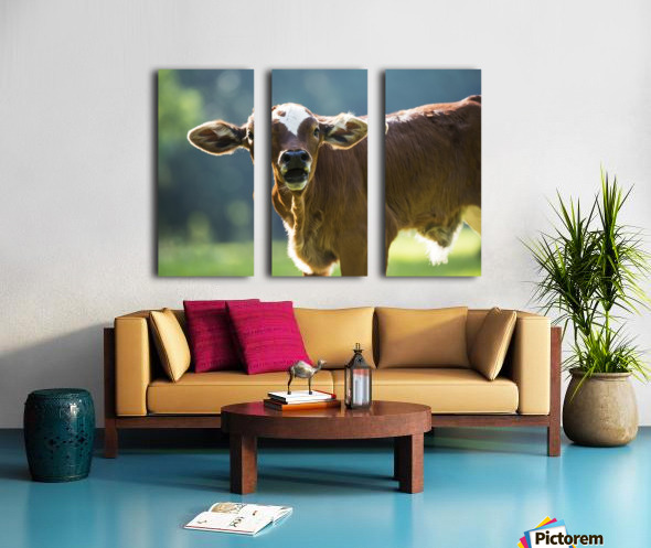 Herford calf bawls for it's mother; Gaitor, Florida, United States of America Split Canvas print
