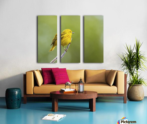 Yellow warbler (Setophaga petechia) perched during spring time; Chateauguay, Quebec, Canada Split Canvas print