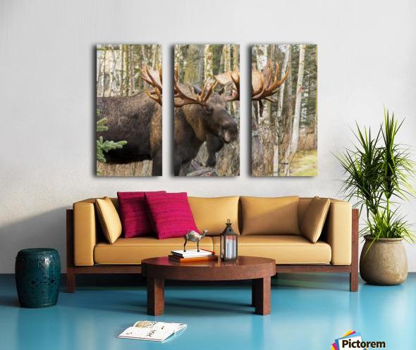 Bull moose (alces alces), rutting season; Alaska, United States of America Split Canvas print