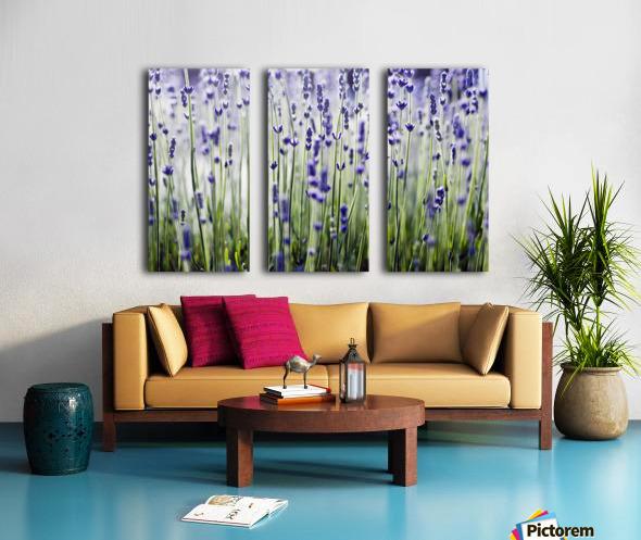Lavender (Lavandula Angustifolia), Many Sprigs Growing In Field. Split Canvas print