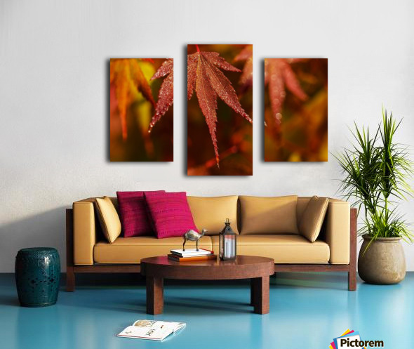 Japanese Maple (Acer palmatum) turning red in the autumn; Astoria, Oregon, United States of America Canvas print