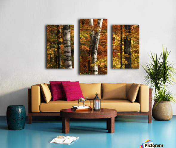 The colourful leaves and birch tree trunks in Algonquin Park; Ontario, Canada Canvas print