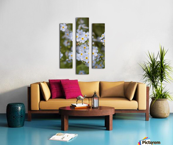 Close Up Of Forget Me Not, Alaska's State Flower, Girdwood, Southcentral Alaska, Summer Canvas print