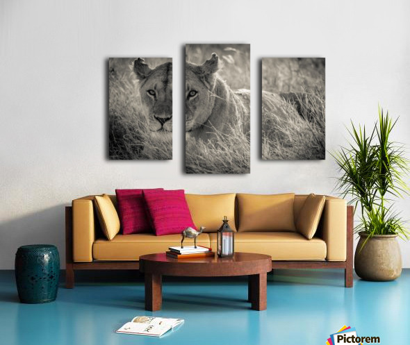 Lioness in the sun Canvas print