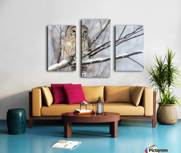Barred Owl on a Snowy Branch Canvas print