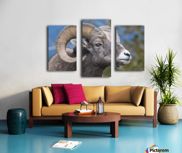 Big Horn Sheep - Portrait Canvas print