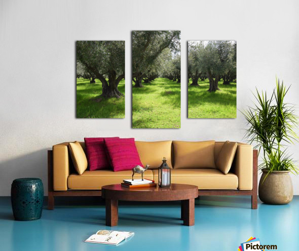 Olive Orchard In Spring Canvas print