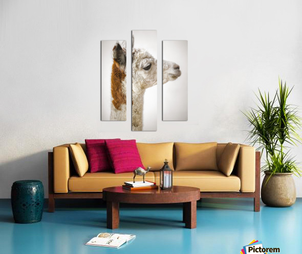 Close-up of Alpaca Canvas print