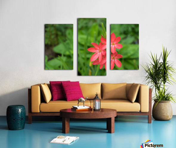 Three Bold Pink River Lily Blooms - Exotic South African Beauties in a Garden Canvas print