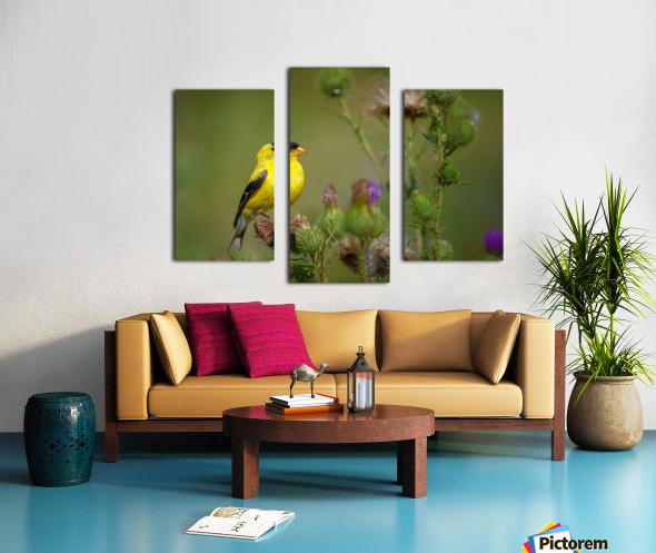 Goldfinch Male Canvas print
