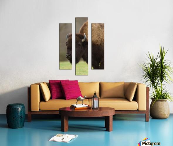 North American Buffalo Canvas print