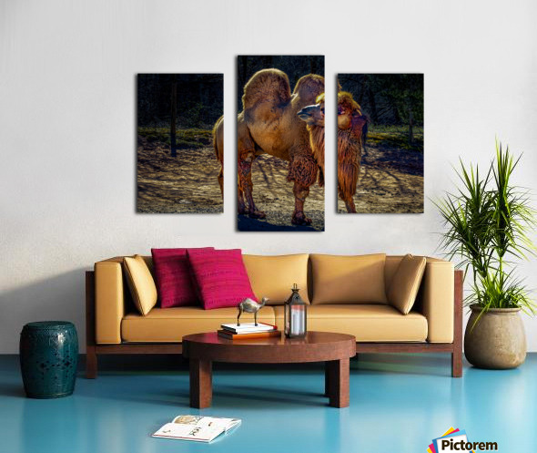 Bactrian Camel Canvas print
