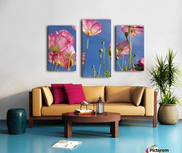 Shirley Poppies (Papaver Rhoeas), Oregon, Usa Canvas print
