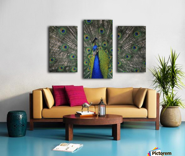Peacock In Open Feathers, Victoria, Bc Canada Canvas print