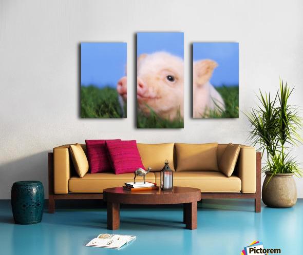 Baby pig lying on grass;British columbia canada Canvas print