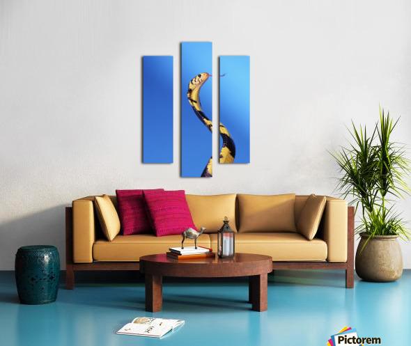Forest cobra (naja melanoleuca) against a blue background;British columbia canada Canvas print