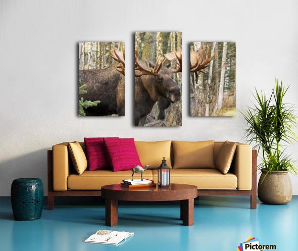 Bull moose (alces alces), rutting season; Alaska, United States of America Canvas print
