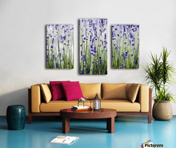 Lavender (Lavandula Angustifolia), Many Sprigs Growing In Field. Canvas print