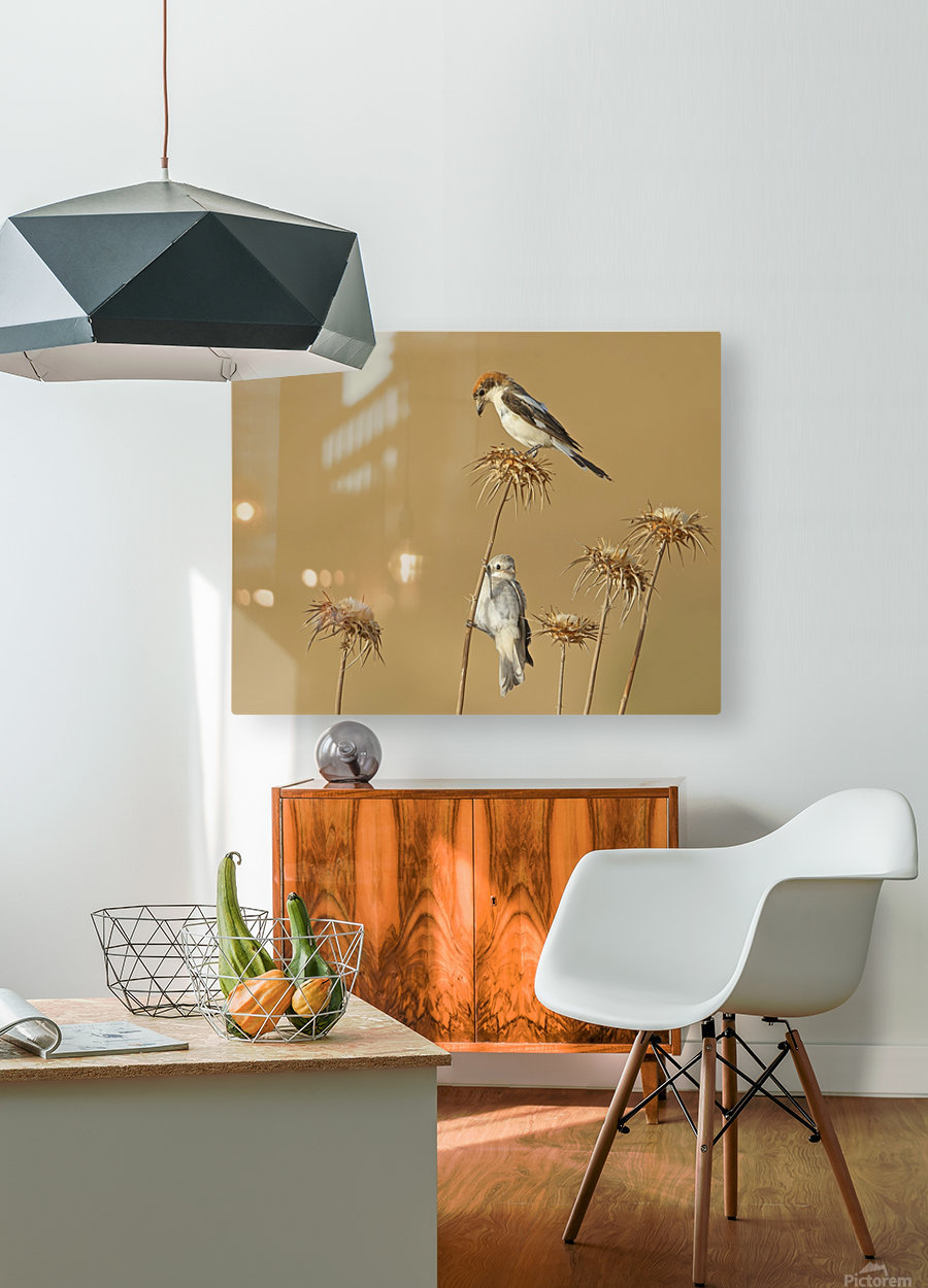 Woodchat Shrike  HD Metal print with Floating Frame on Back
