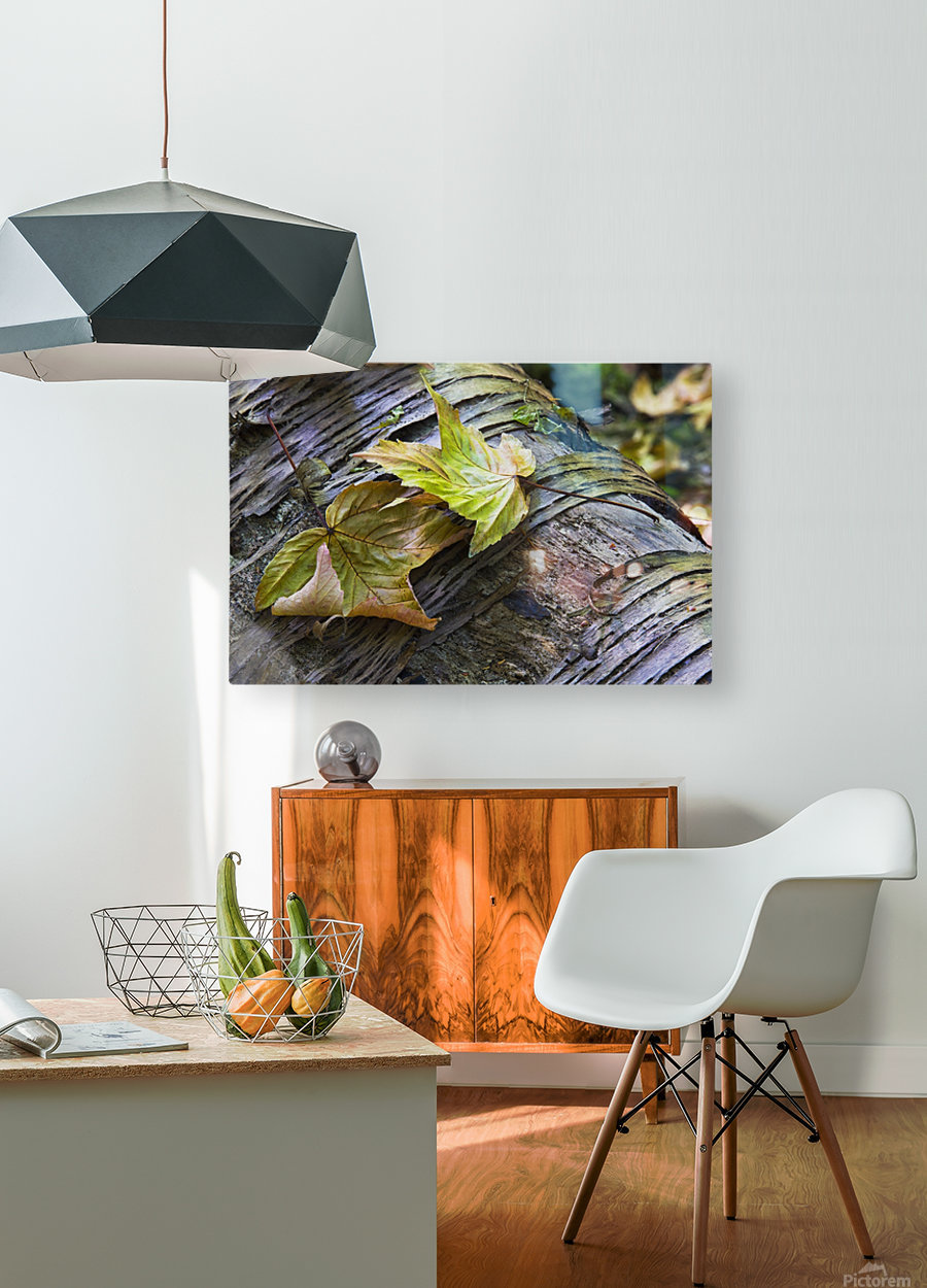 Maple leaves in autumn as they lay across a rotting log in a forest;British columbia canada  HD Metal print with Floating Frame on Back