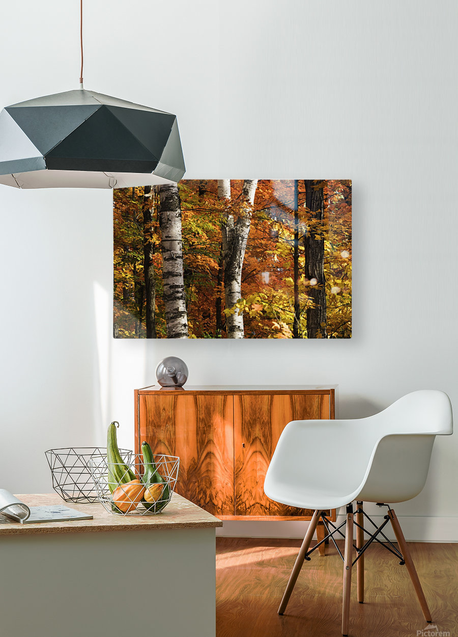 The colourful leaves and birch tree trunks in Algonquin Park; Ontario, Canada  HD Metal print with Floating Frame on Back