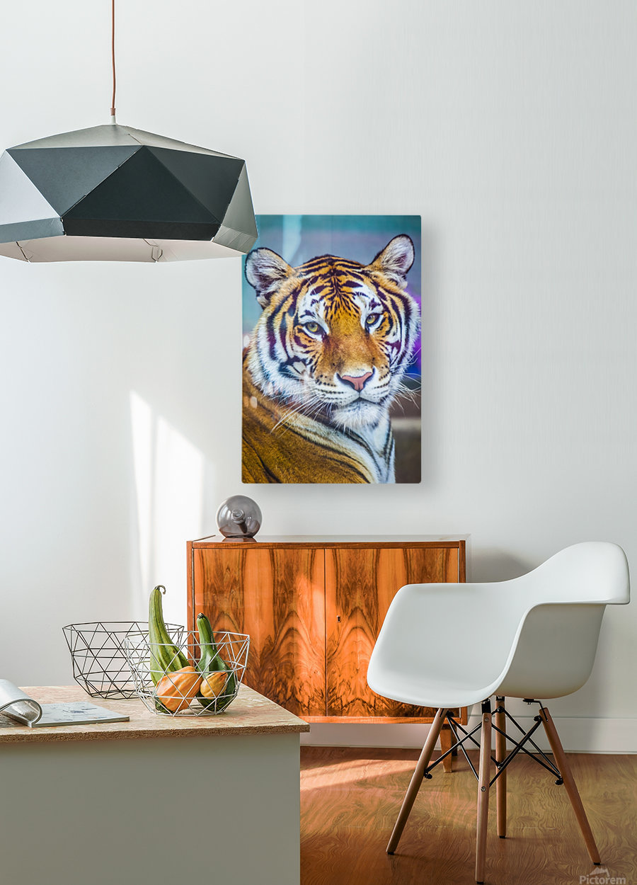 Portrait of Bengal Tiger (panthera tigris tigris) endangered species, captive; Chippewa Falls, Wisconsin, United States of America  HD Metal print with Floating Frame on Back