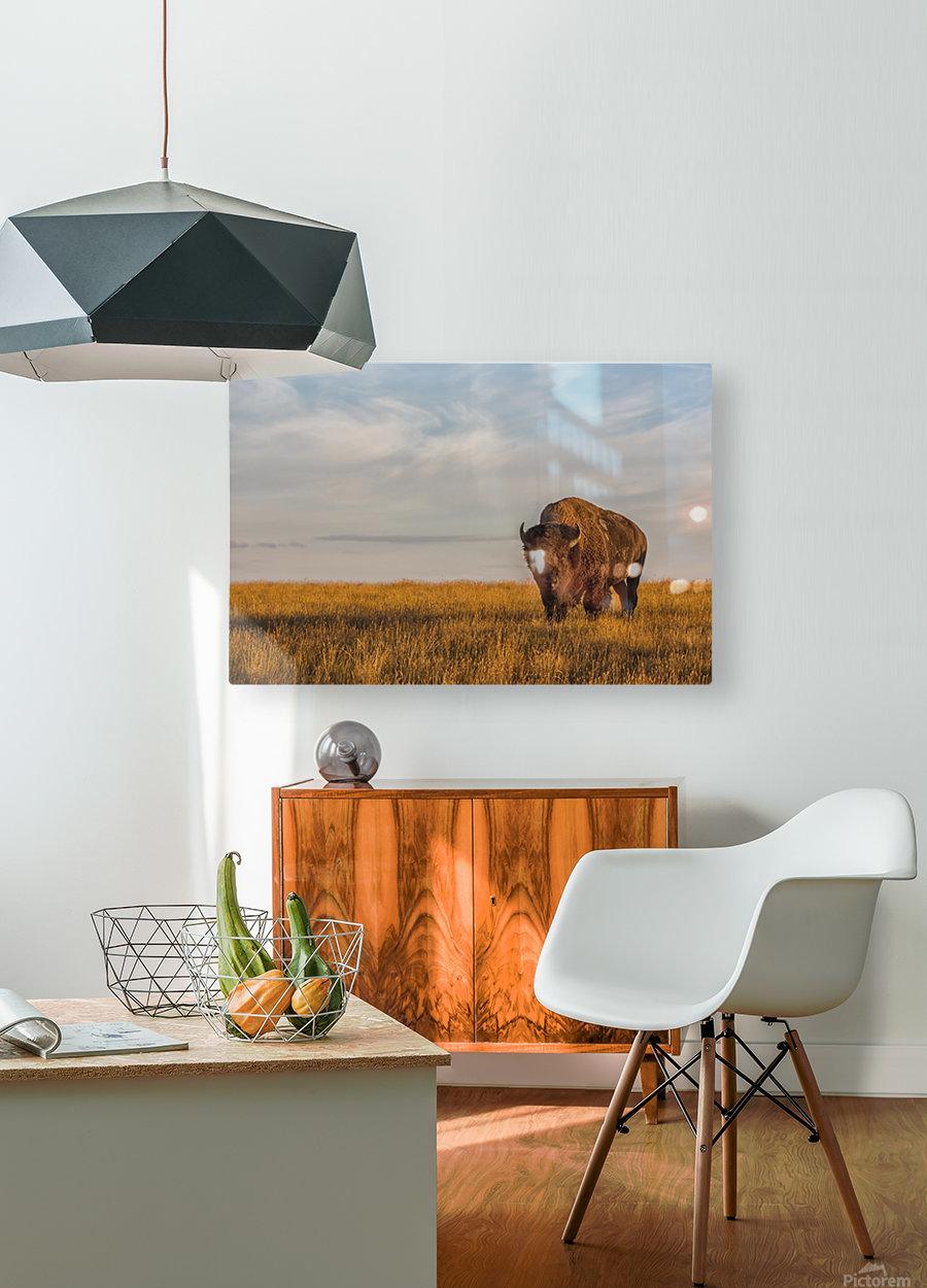 Bison (bison bison), Grasslands National Park; Saskatchewan, Canada  HD Metal print with Floating Frame on Back