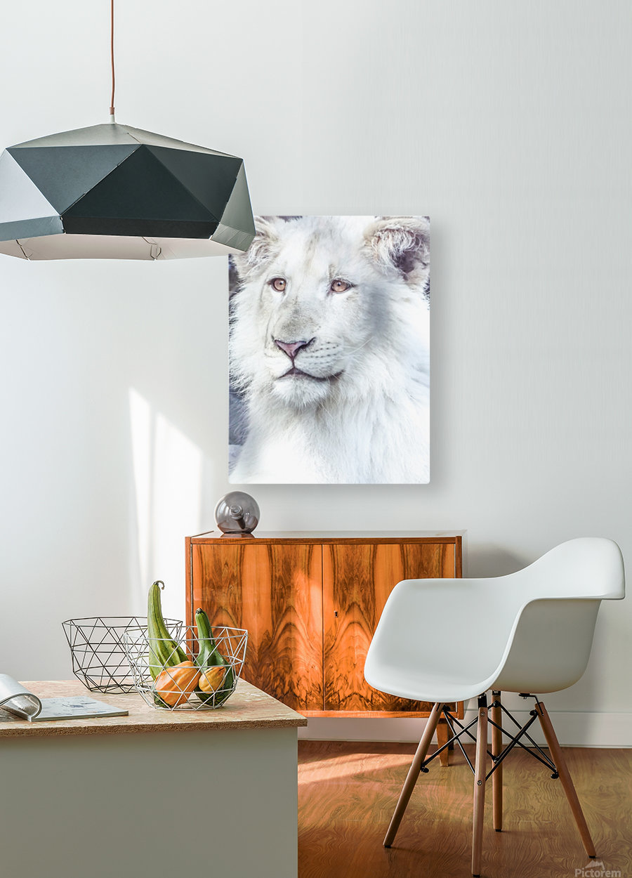 Juvenile White Lion   HD Metal print with Floating Frame on Back