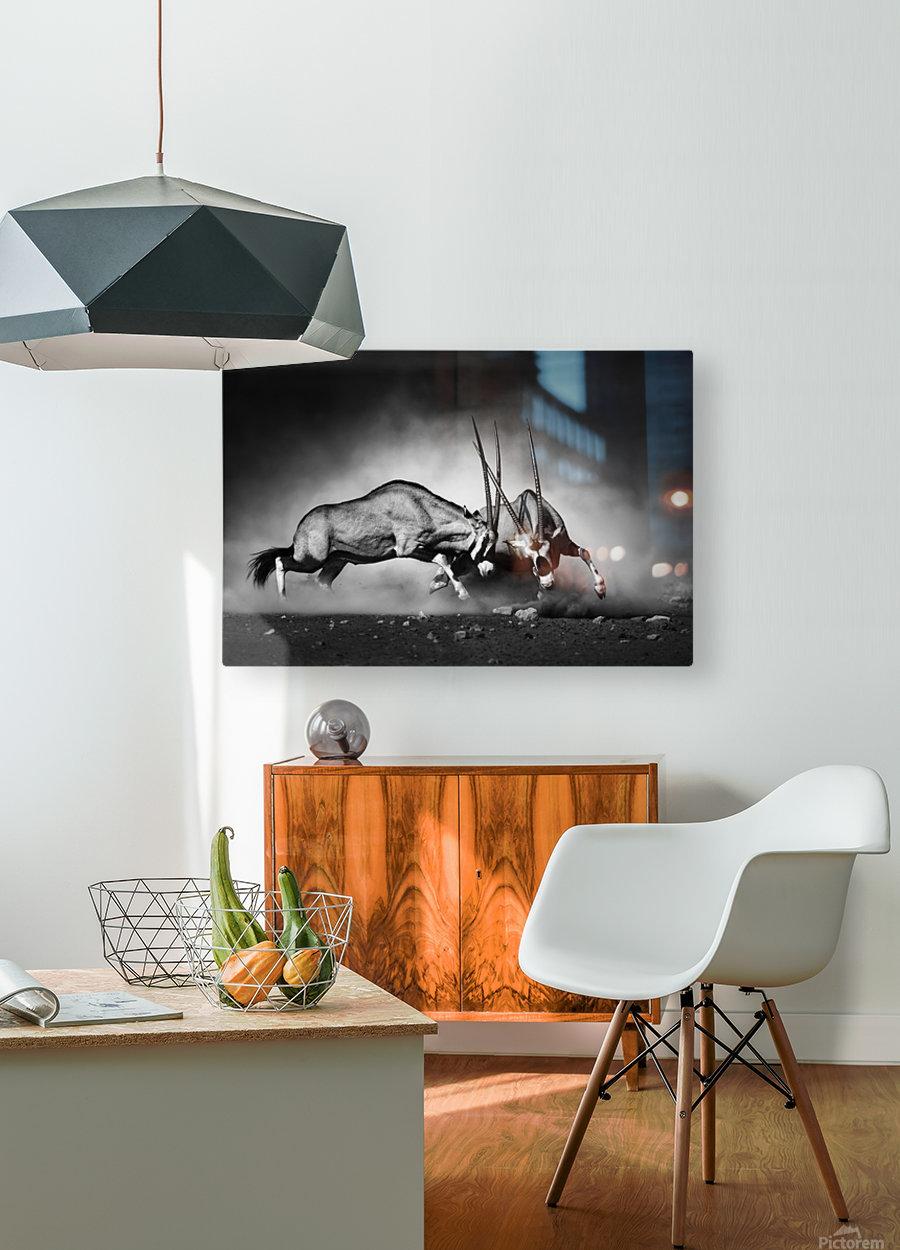 Gemsbok fight  HD Metal print with Floating Frame on Back