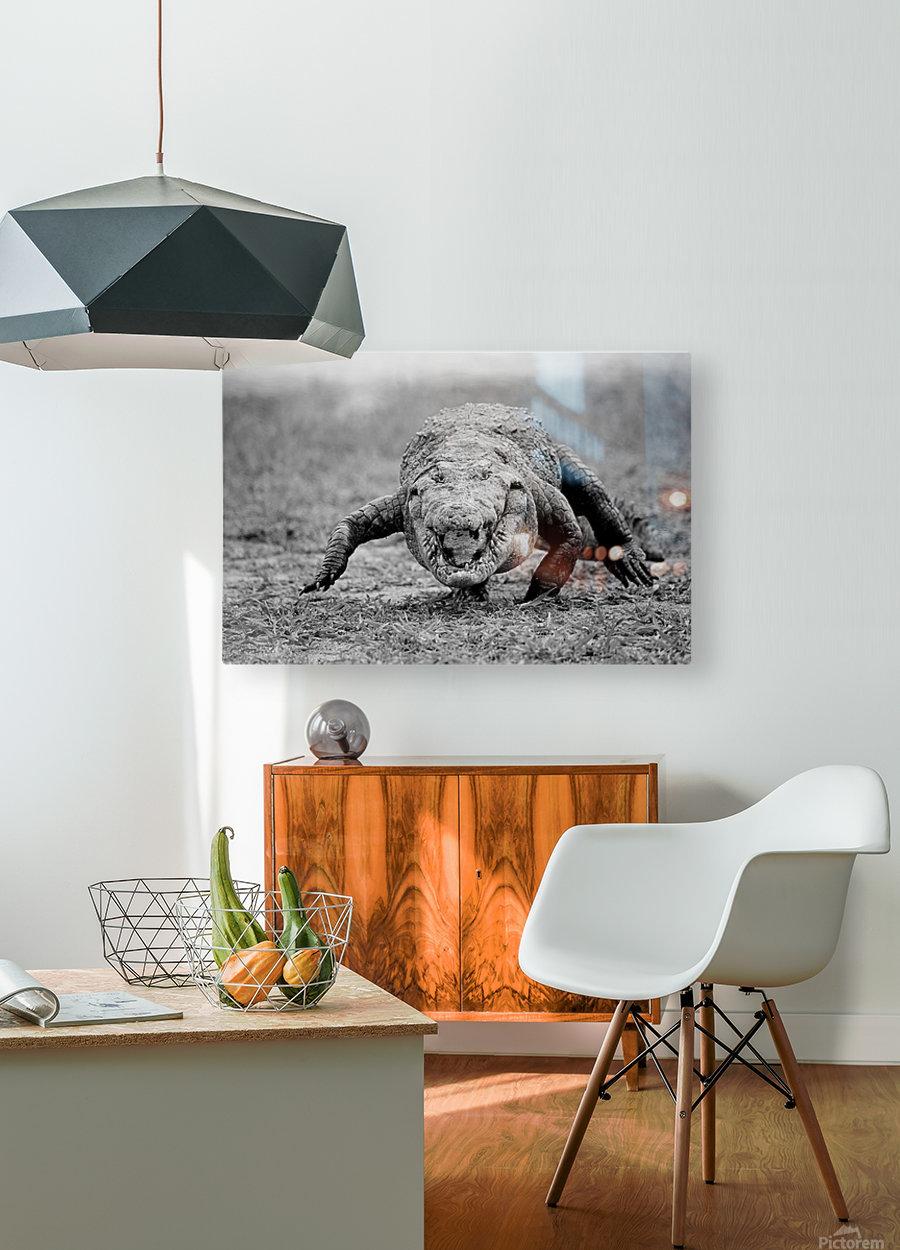 Crocodile Ghana  HD Metal print with Floating Frame on Back