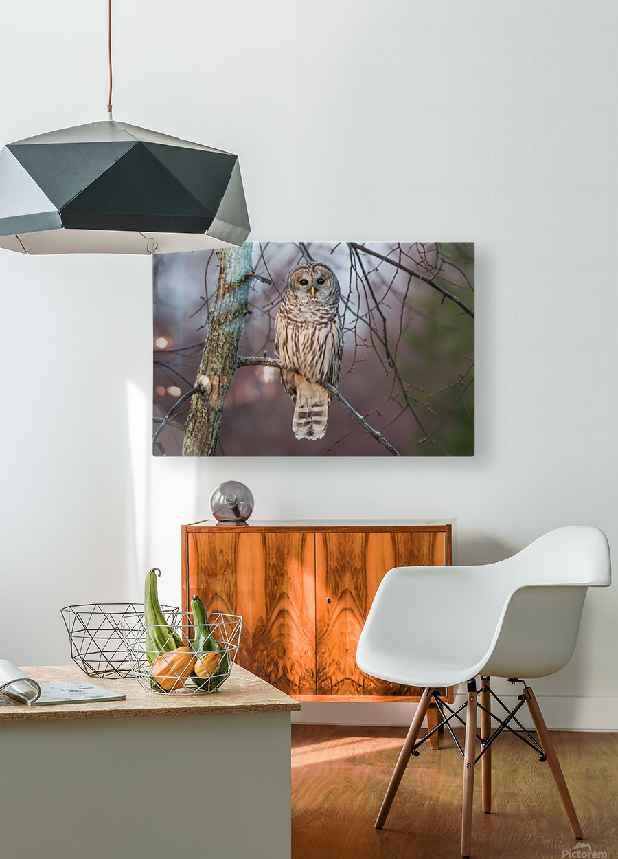 Barred Owl at sunrise.  HD Metal print with Floating Frame on Back
