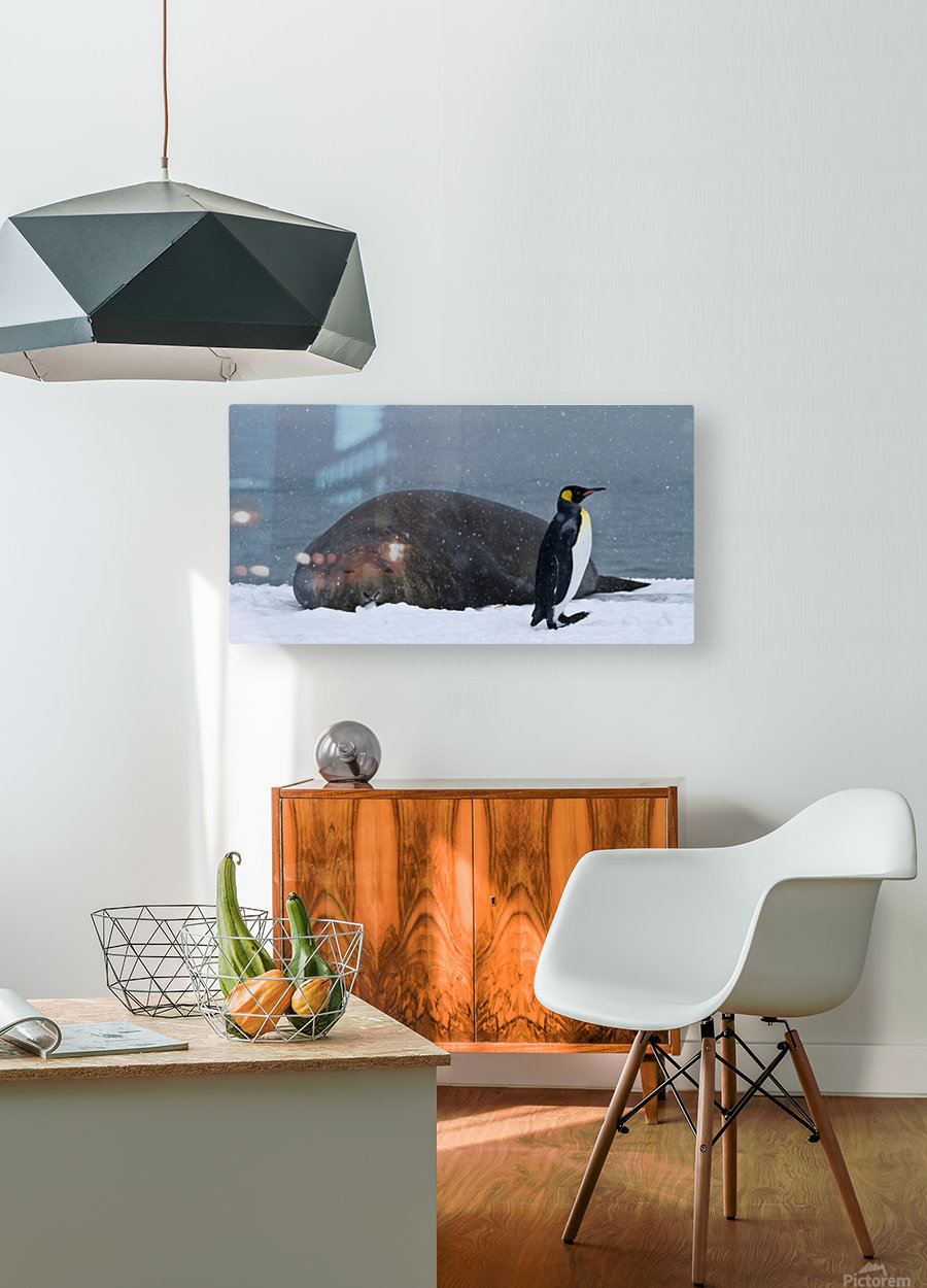 King Penguin walking nest to Elephant Seal  HD Metal print with Floating Frame on Back