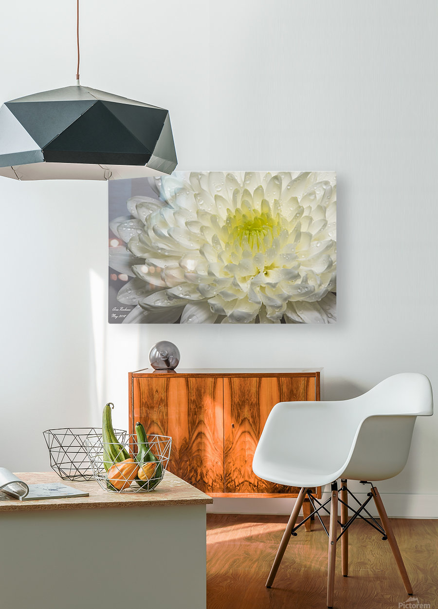 White mum flower with water droplets  HD Metal print with Floating Frame on Back