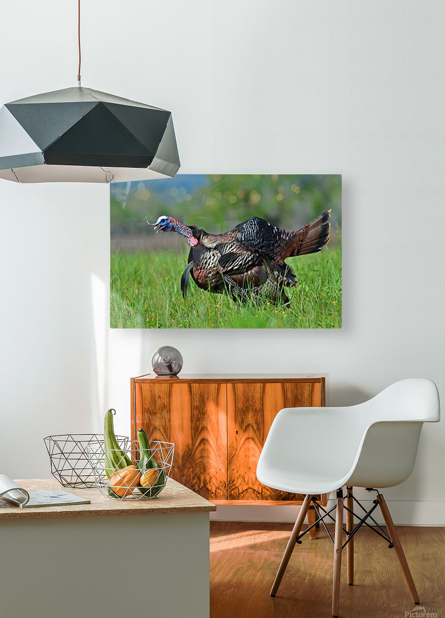 7_Gobbling Turkey  HD Metal print with Floating Frame on Back