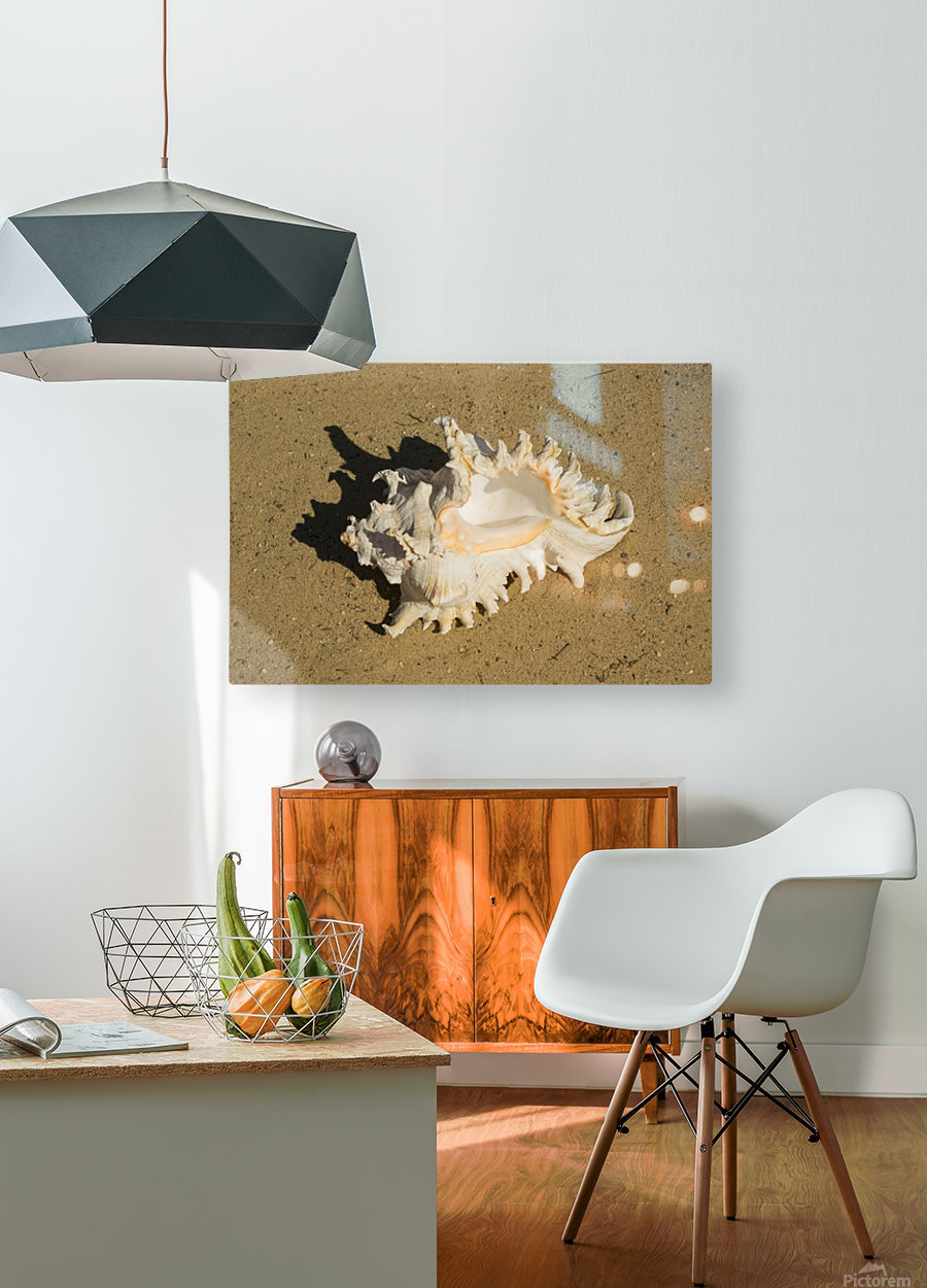 Murex Ramosun Rams Horn Shell  HD Metal print with Floating Frame on Back