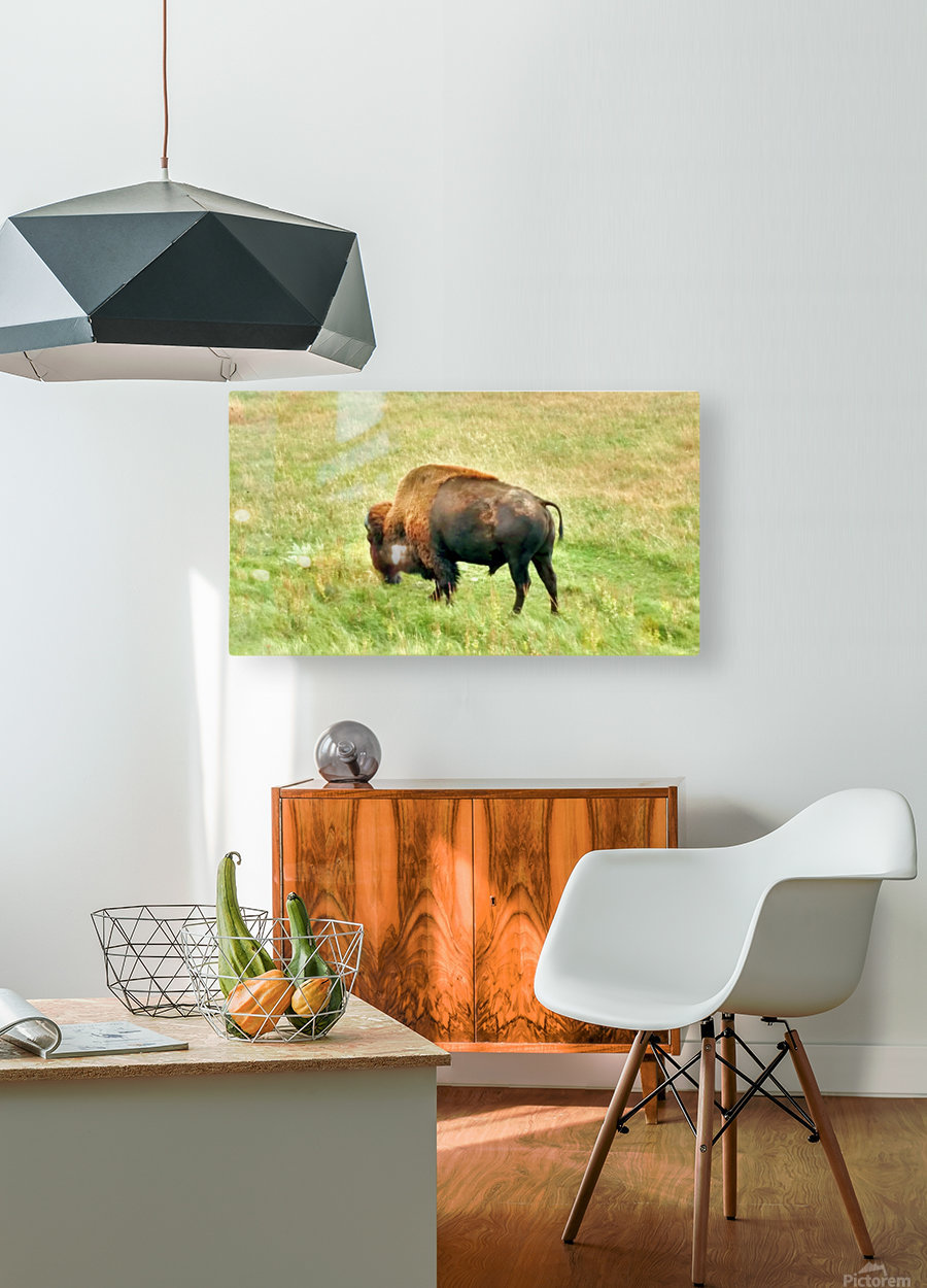 Lone Buffalo Custer State Park  HD Metal print with Floating Frame on Back