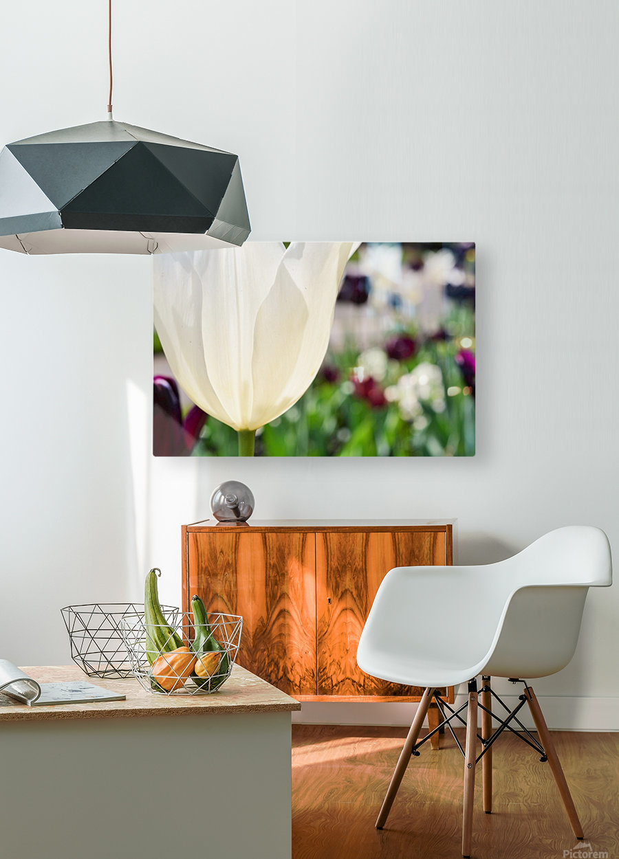 White Tulip Photograph  HD Metal print with Floating Frame on Back