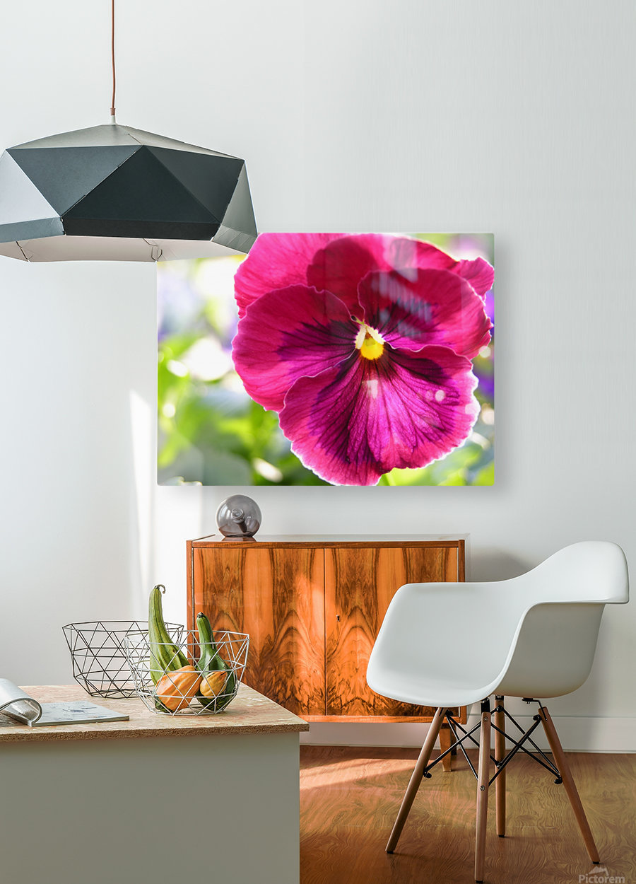 Pink Pansy Photograph  HD Metal print with Floating Frame on Back