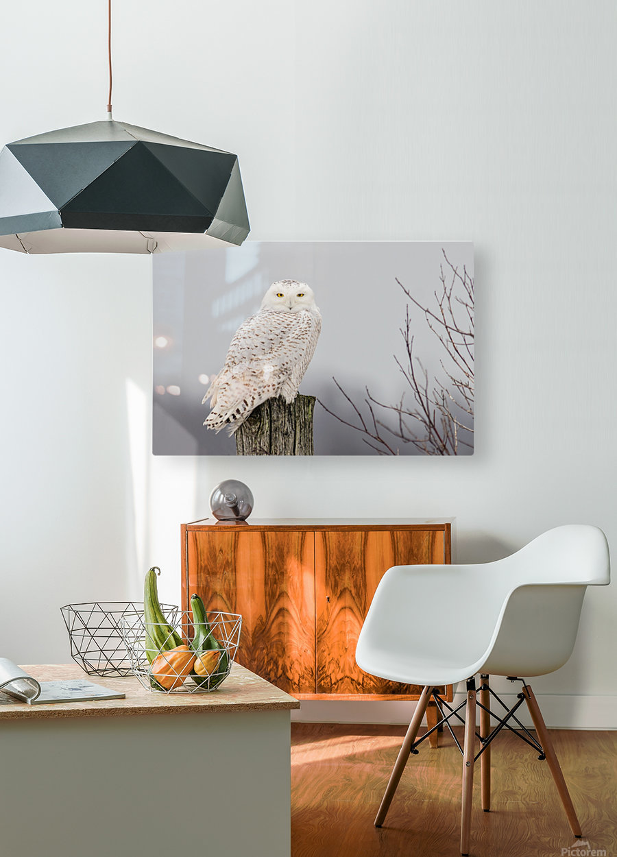 Snowy Owl on the Fence  HD Metal print with Floating Frame on Back