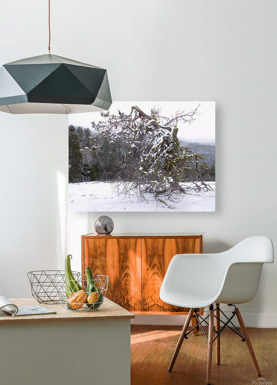 Ancient Mountain Juniper  HD Metal print with Floating Frame on Back
